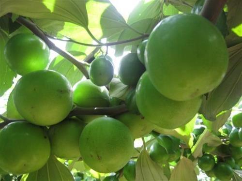 Táo xanh Ninh Thuận