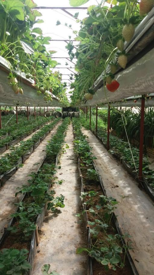 Vườn dâu tây Đà Lat